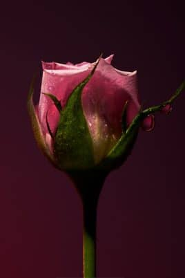 © OLFACTIVE STUDIO Sepia Collection 2 ROSE SHOT - rosenfrische Fotoimpression von Roberto Greco