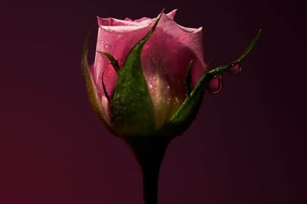 © OLFACTIVE STUDIO Sepia Collection 2 ROSE SHOT - rosenfrische Fotoimpression von Roberto Greco